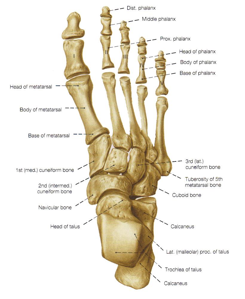 Ziemlich Anatomy Top Of Foot Zeitgenössisch - Menschliche Anatomie ...