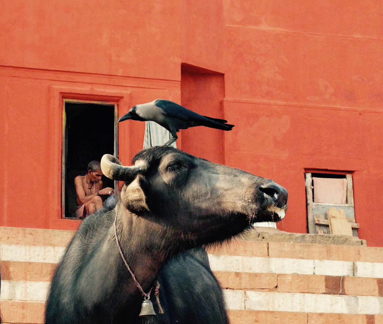 Bird on a cow