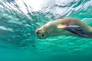 Swimming with Sea Lions © Tourism Australia
