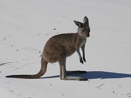 Kangaroo, Cape Le Grand Nationalpark
