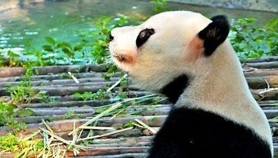 Chengdu Panda © Real Adventure Group