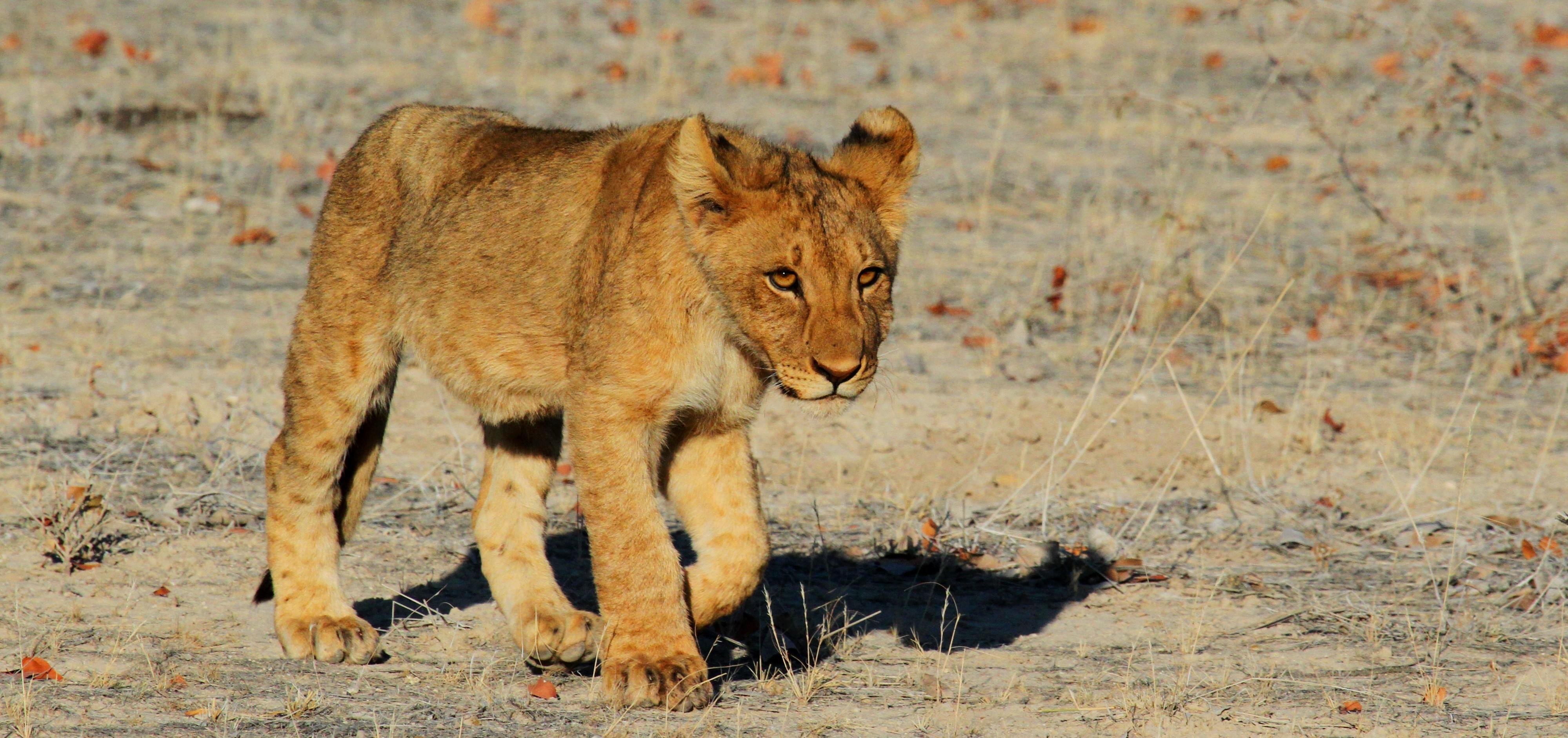 lion-1305797