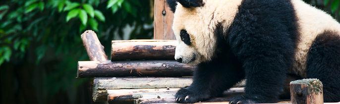 Chengdu Panda - Real Adventure Group