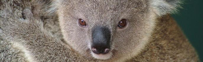 Koala © Zwerger-Schoner
