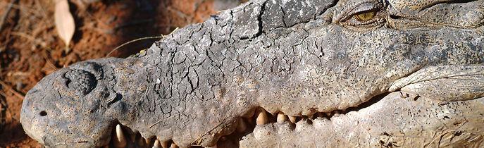 Krokodil © Zwerger-Schoner