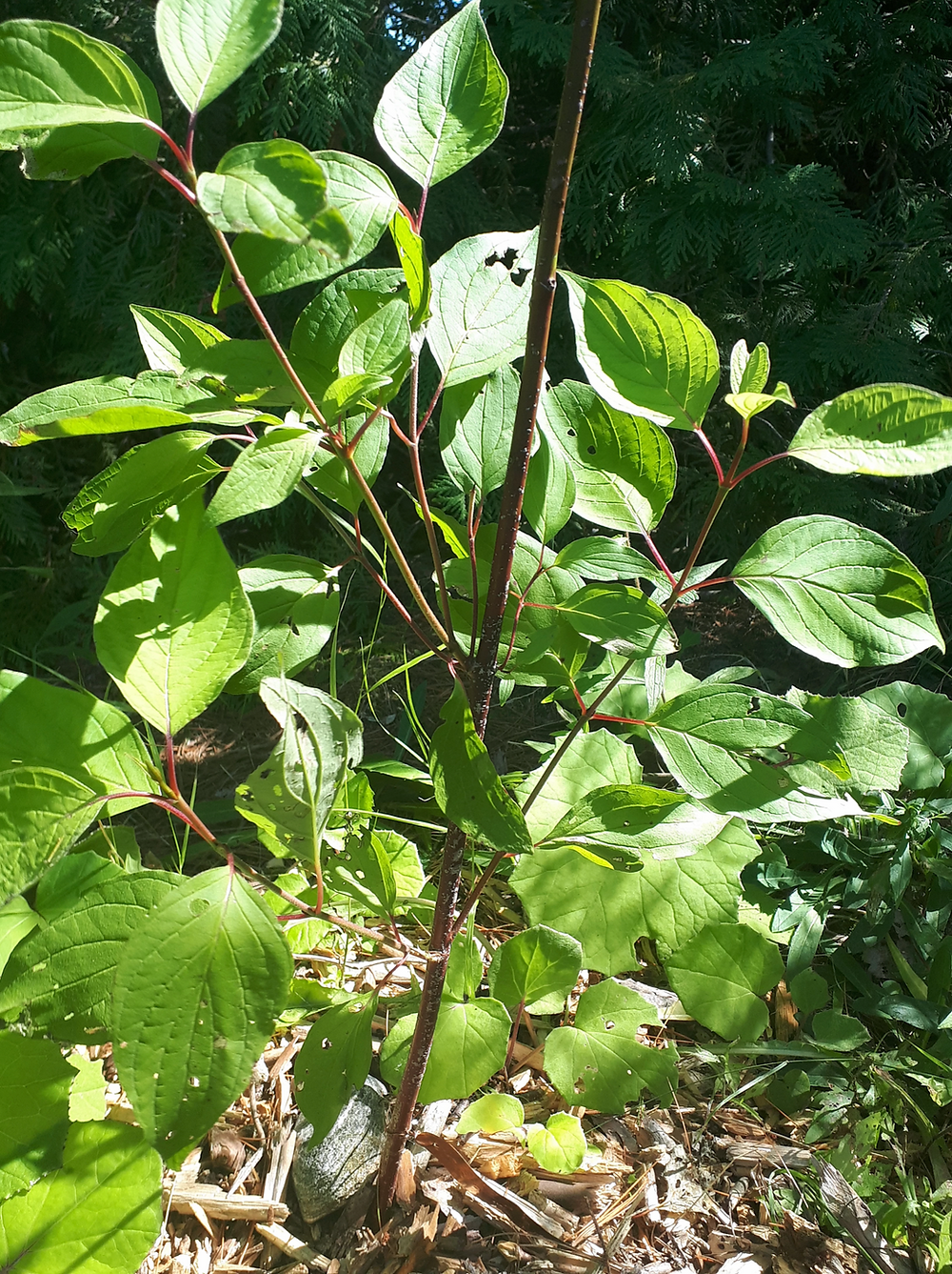 Red osier dogwood (Cornus sericea)