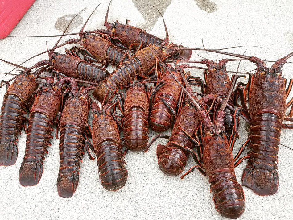 Can't Find the Bugs? Here's How to Find and Hand Catch Lobster.