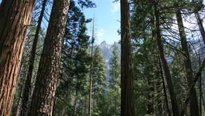 """""""L'effet d'ancrage"""" - ou l'énigme de la taille du plus grand séquoia"""