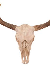 Cow skull study