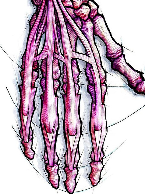 Albinus' classic hand study
