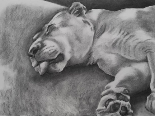 Hot Summers Nap (White Lion) Drawing