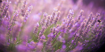 Lavender Field with Bee.jpg