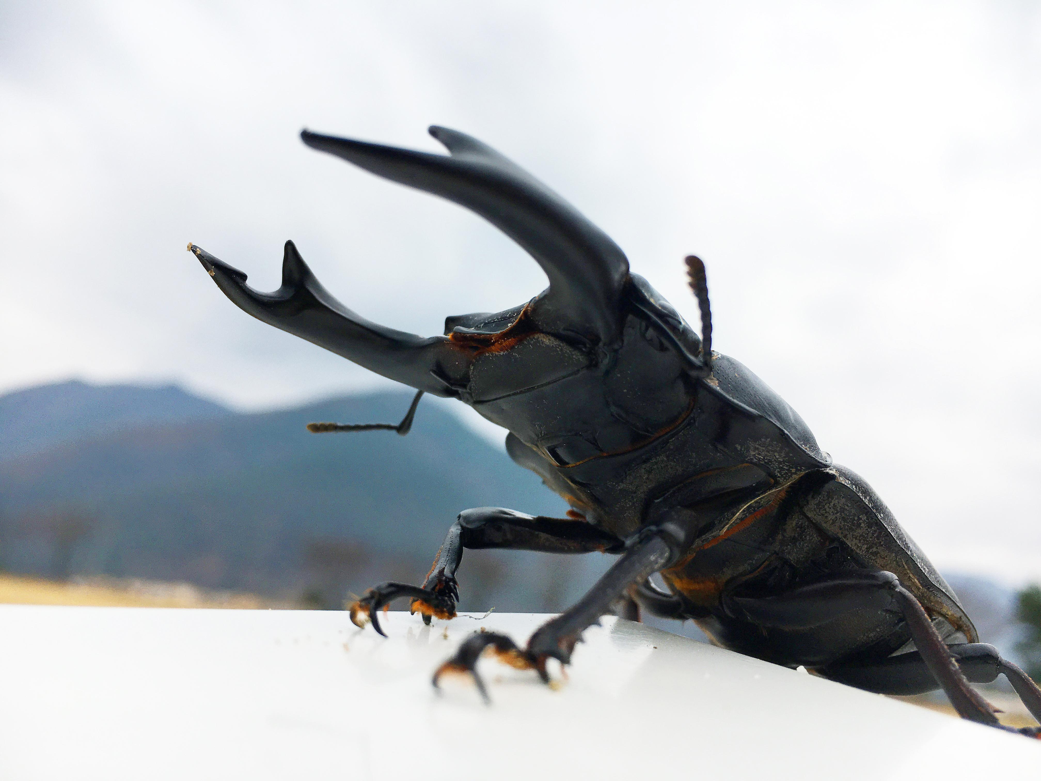 왕사슴벌레(Dorcus hopei)