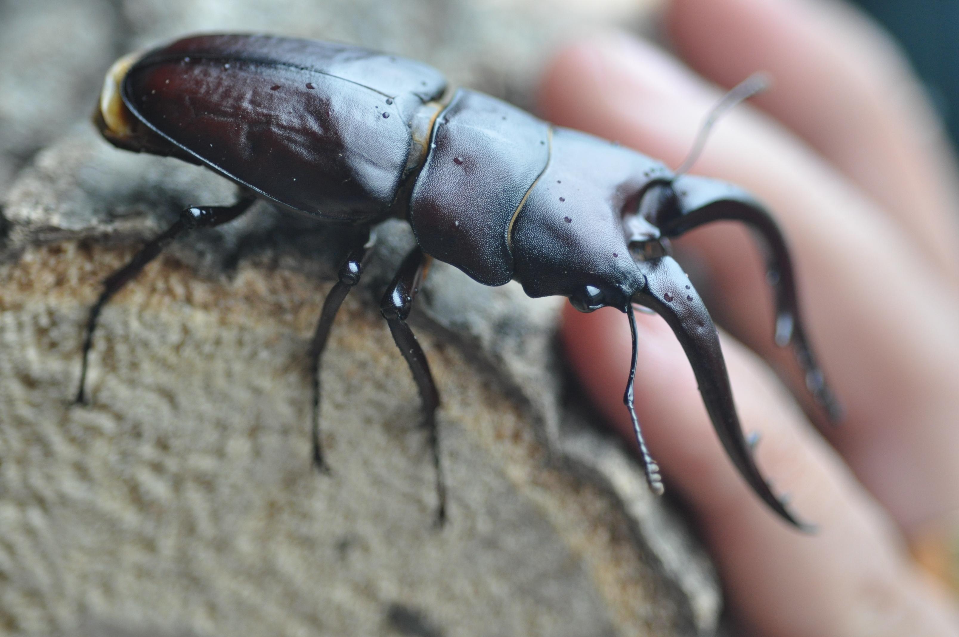 톱사슴벌레(Prosopocoilus inclinatus)