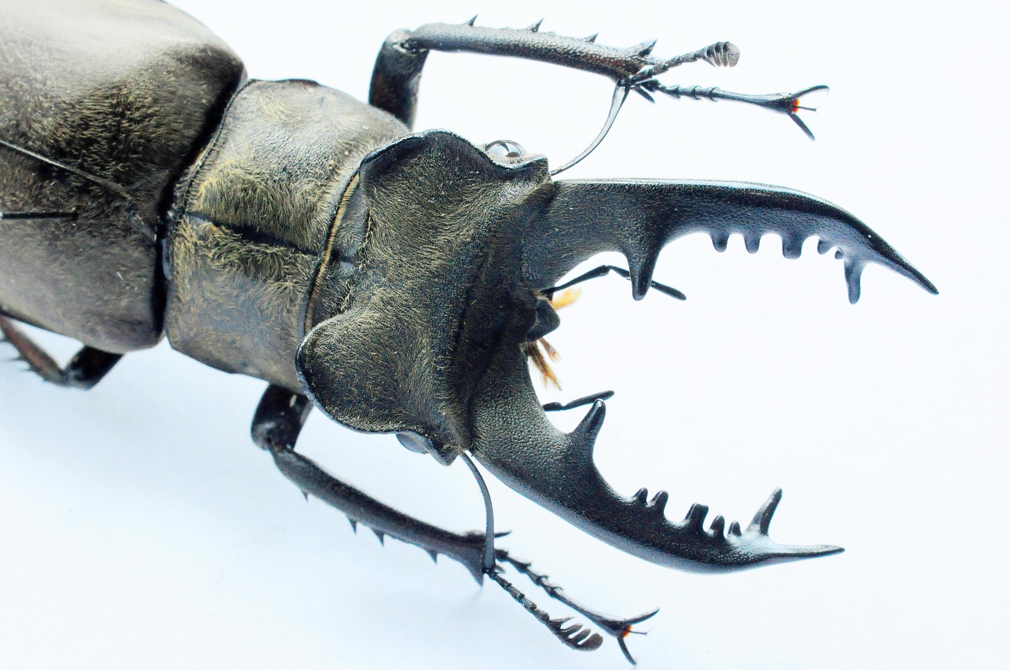 사슴벌레(Lucanusmaculifemoratusdybowski)