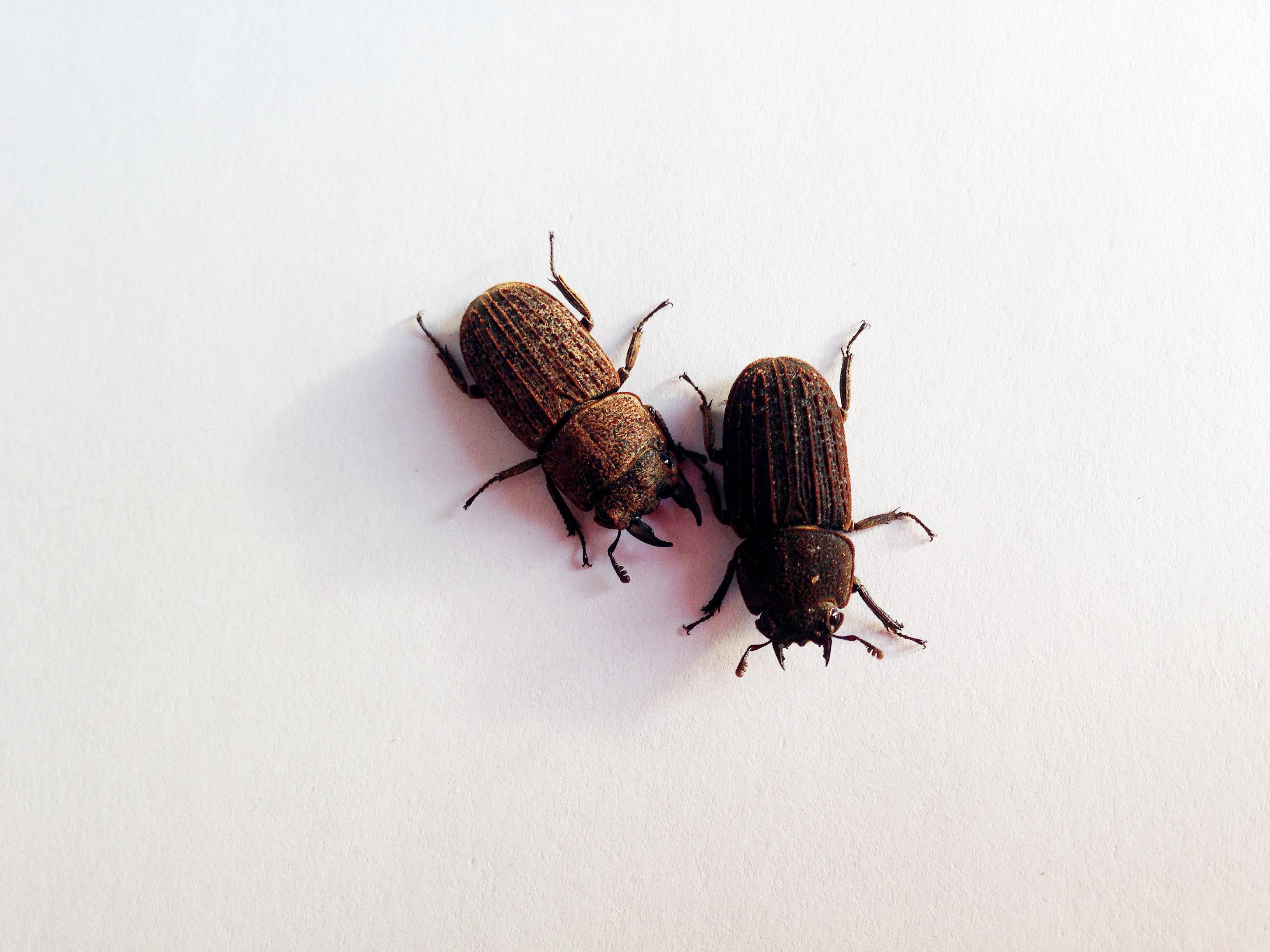 털보왕사슴벌레(Dorcus koreanus)