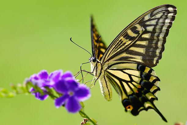Papilio_xuthus_20130804.jpg