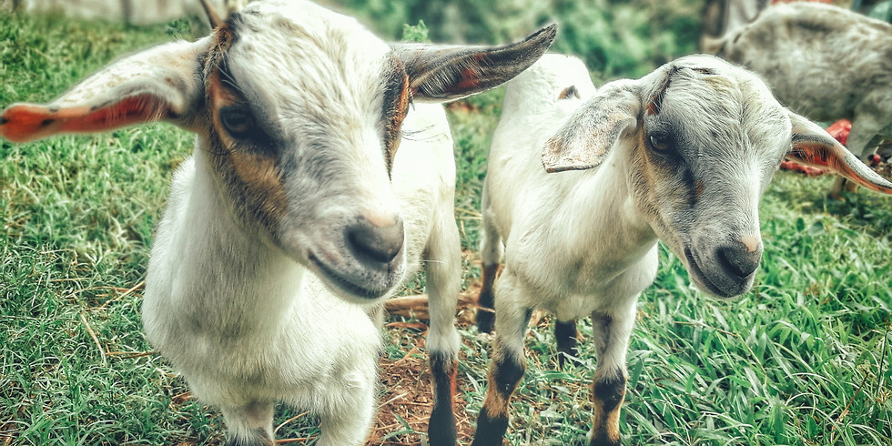 CANCELLED DUE TO WEATHER - Black Friday Goat Yoga (1)