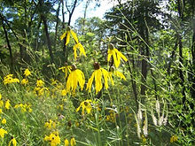 Gray-headed Coneflower 1.jpg