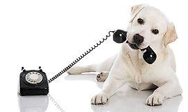 veterinary-portrait-of-a-labrador-retrie
