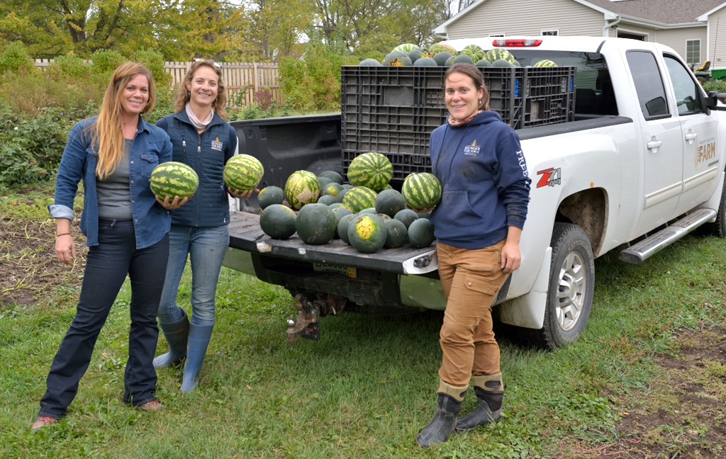Watermelons harvested