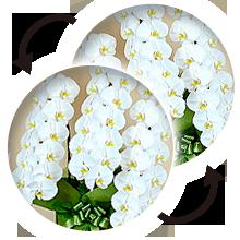 胡蝶蘭の循環イメージ