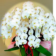 5本立て胡蝶蘭のイメージ