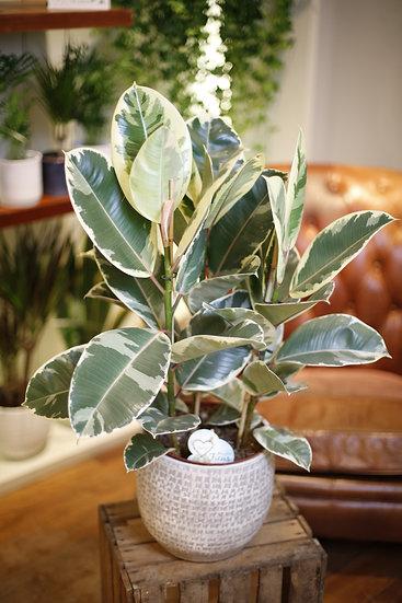 Ficus Tineke Large