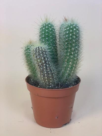 Cactus - Patrick