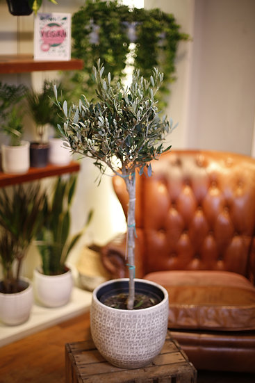 Olive Europea (90cm)