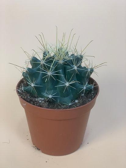 Cactus - David