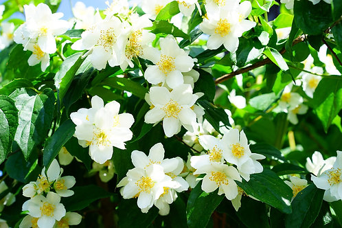 Jasmine(Grandiflorum) 3%