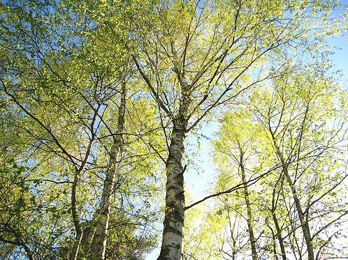 Birch tar
