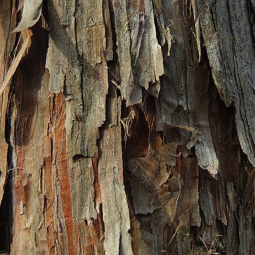Cedar wood (Atlas)