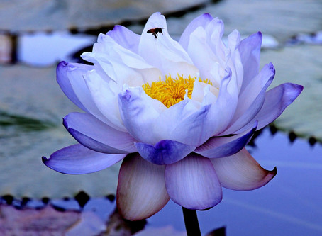 At the International Water Lily Collection in San Angelo, TX
