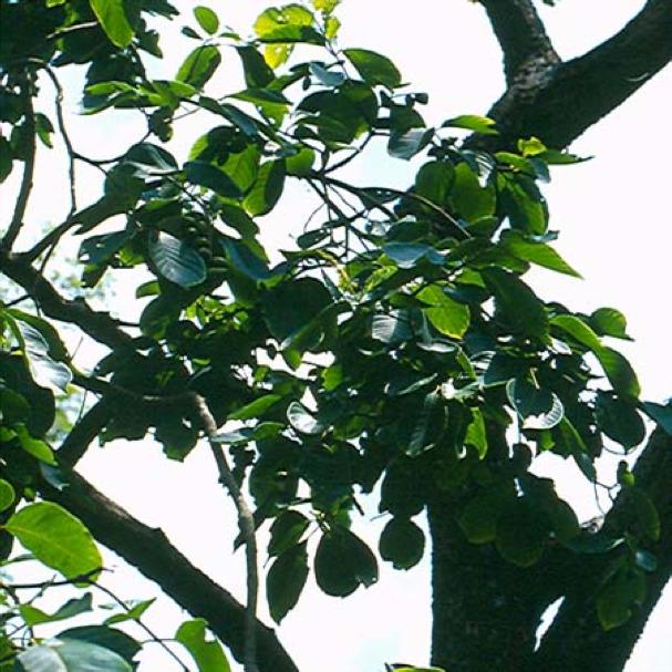 Terminalia chebula – Haritaki