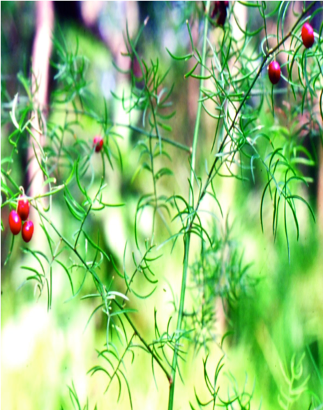 Asparagus racemosus - Shatavari