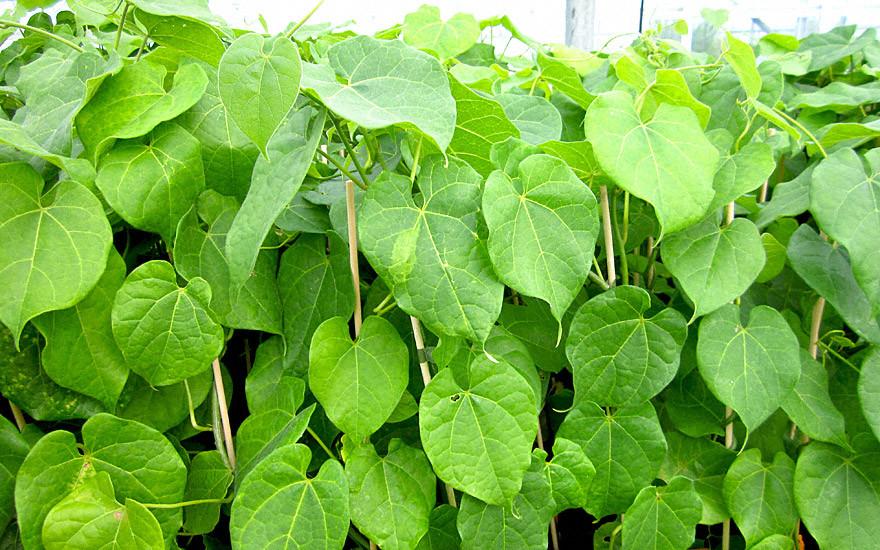 Tinosporia Cordifolia – Guduchi
