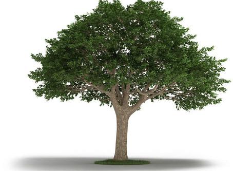 Amazing Neem Tree: Health Benefits and Uses
