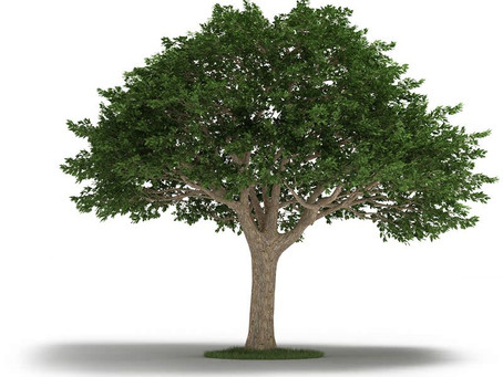 Amazing Neem Tree: Health Benefits and Uses
