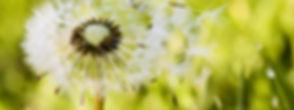 allergy_dandelion.jpg