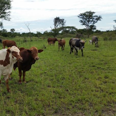 Kyankwanzi - Uganda