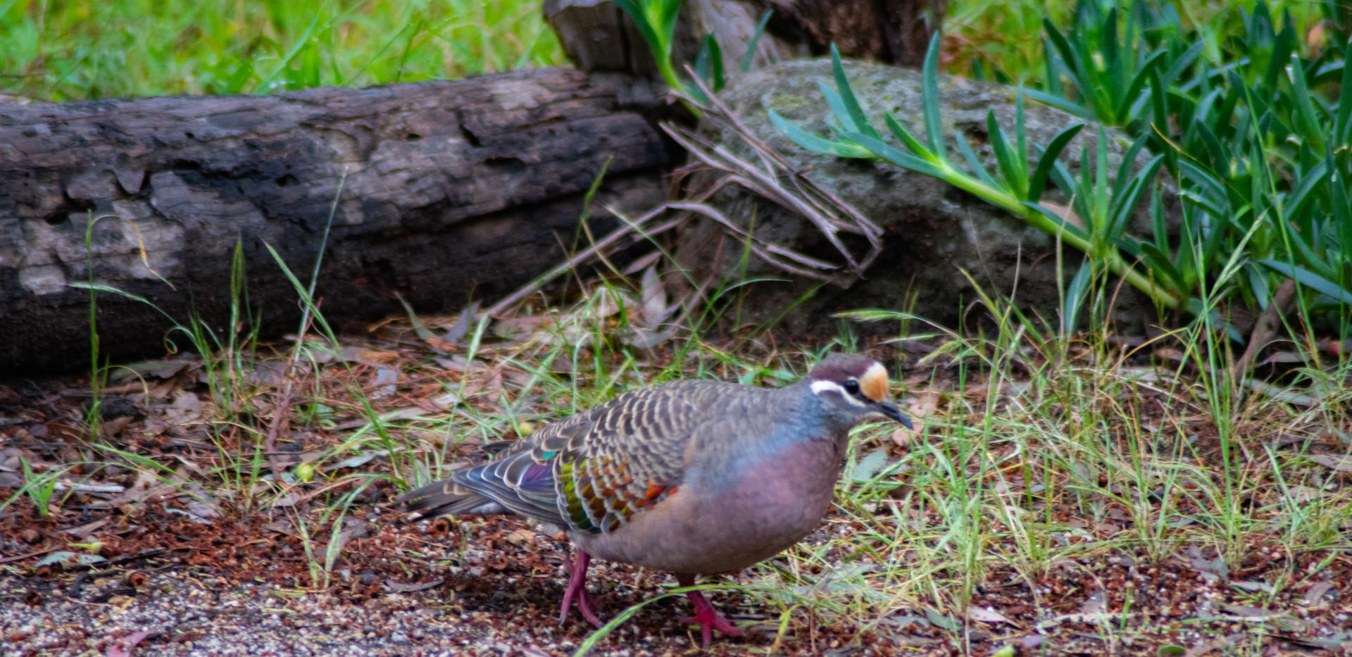 Bronze Winged Pigeon