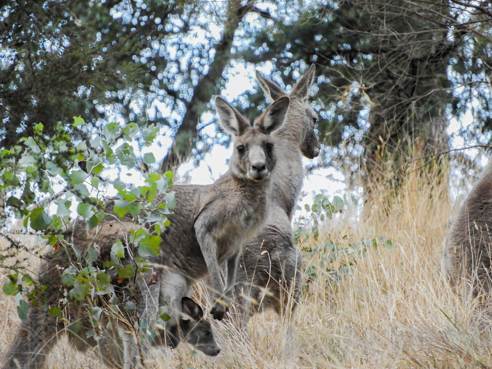 Kangaroo & Joey.jpg
