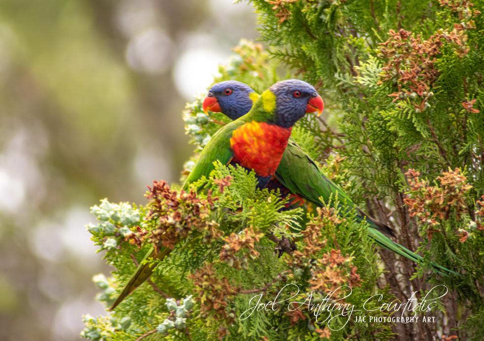 Rainbow Lorikeet Couple