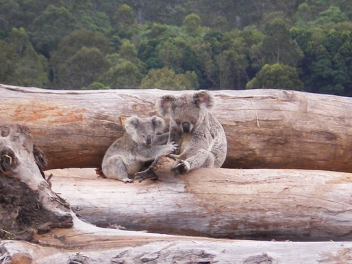 How can we put an end deforestation in Australia?