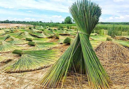 its-eco-green-straws-field-650x450.jpg