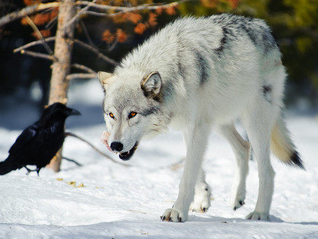 The Wolf and the Raven: Part 2