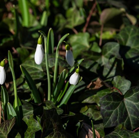 Hóvirág (Galanthus nivalis)