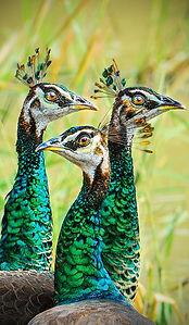 Peacock_vágott_1200px.jpg